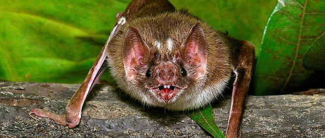 br sil des chauves souris vampires s attaquent aux humains neotrouve. Black Bedroom Furniture Sets. Home Design Ideas