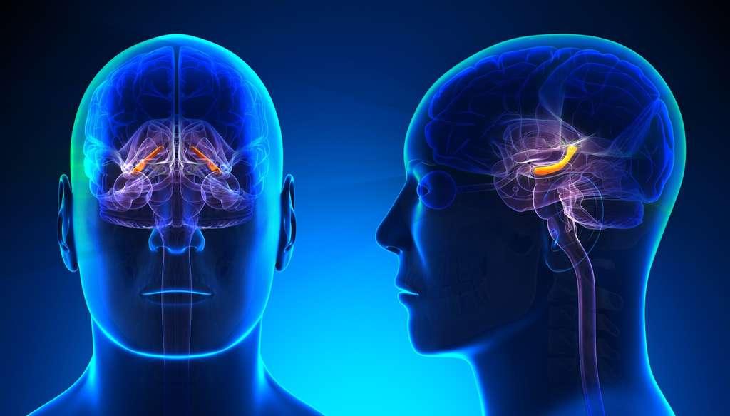L'hippocampe est une région du cerveau impliquée dans la mémoire. © decade3d, Fotolia